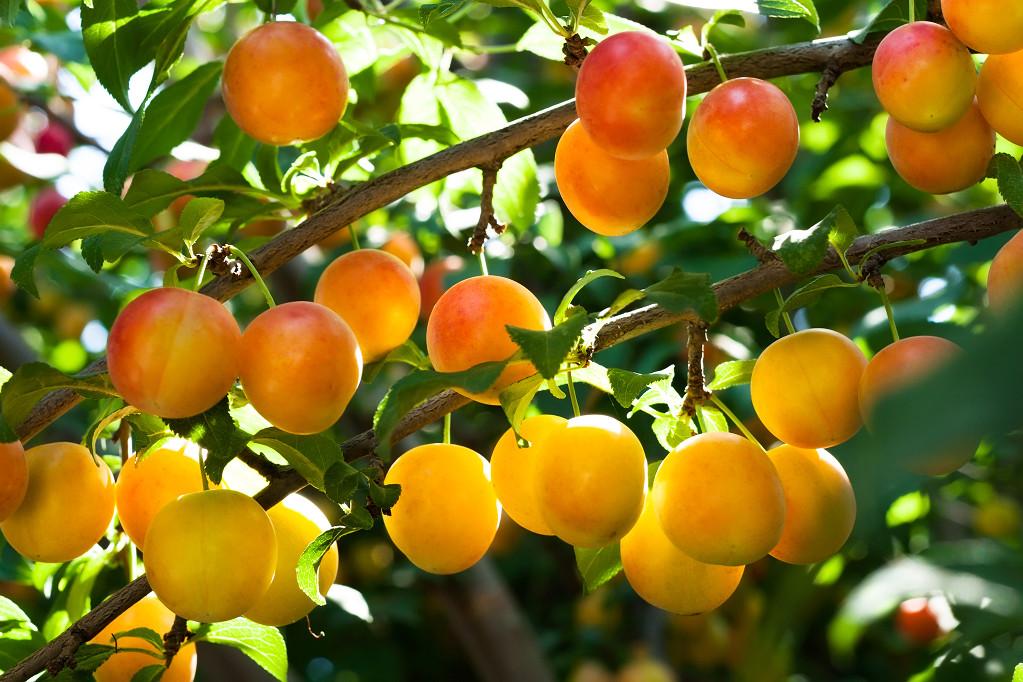 Gyümölcstermők