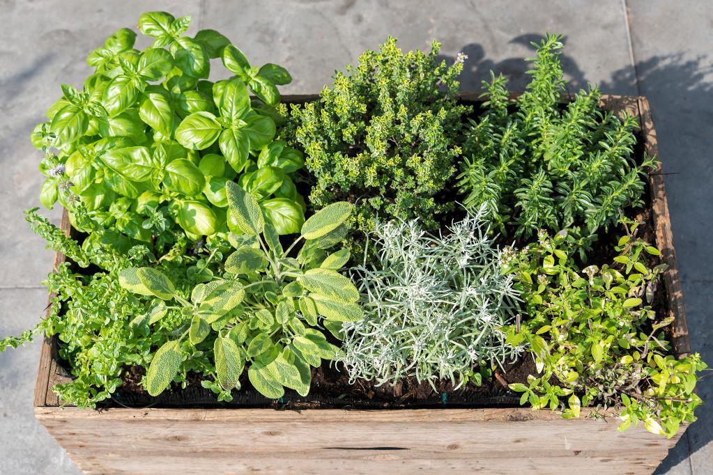 Fűszernövények és palánták