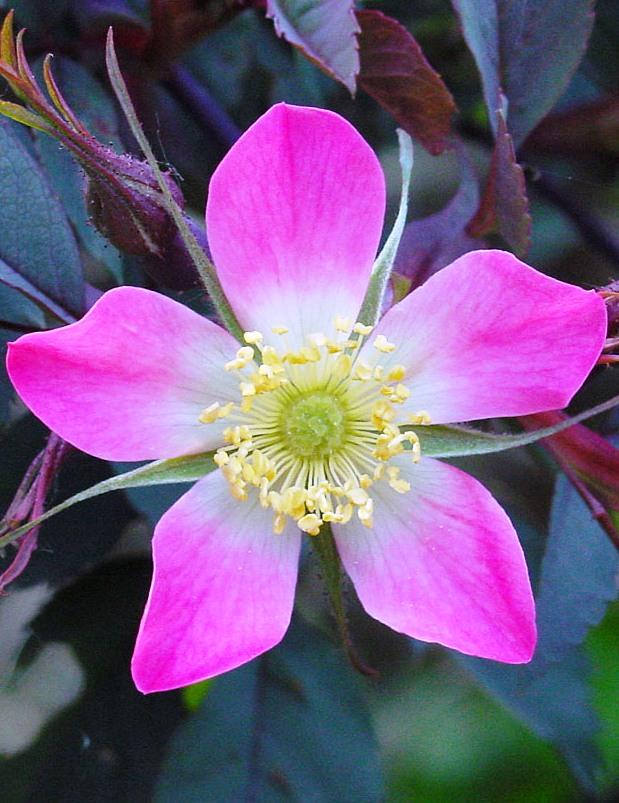 Vörös levelű rózsa
