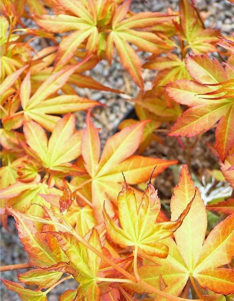 Zöldessárga levelű japán juhar
