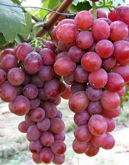 Anita csemegeszőlő