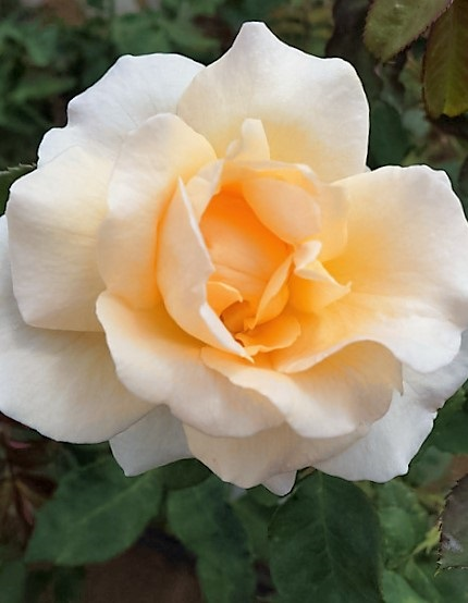 Apricot blosson talajtakaró rózsa