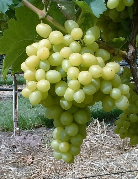 Árkádia csemegeszőlő