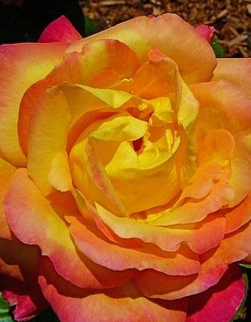 Baby masquerade rózsa