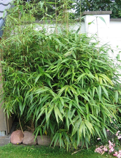 Bambusz 'Arundinaria' változat