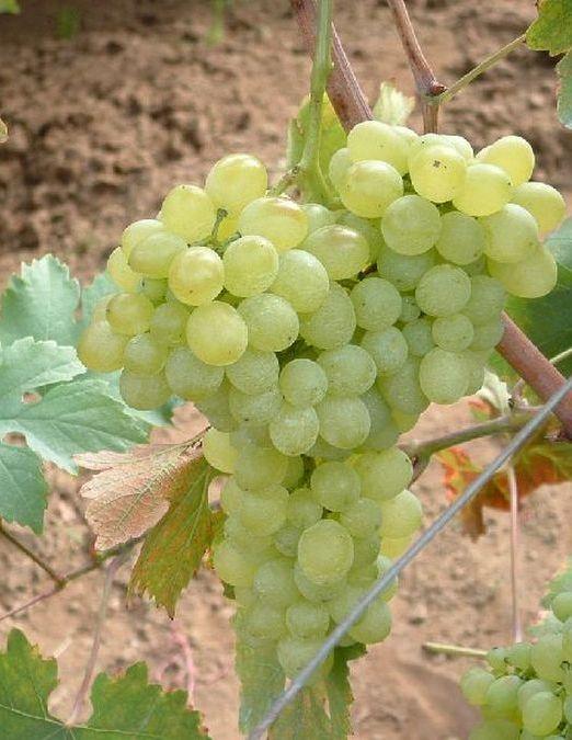 Belgrádi magvatlan csemegeszőlő