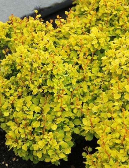 Aranysárga borbolya