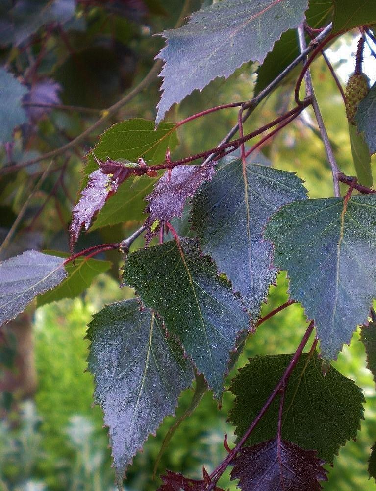 Vörös levelű nyírfa
