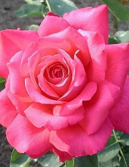 Caresse rózsa