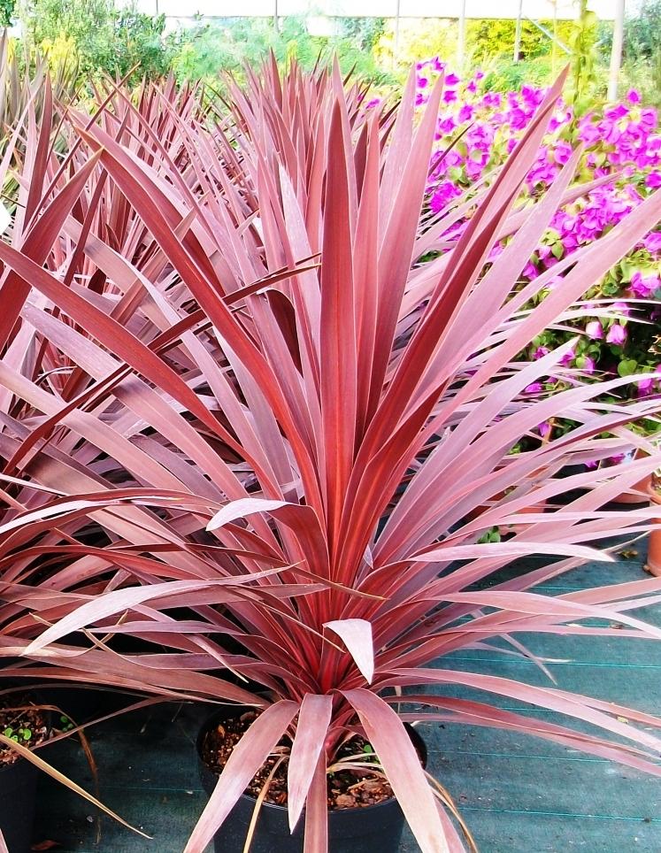 Bordó levelű ausztrál liliom
