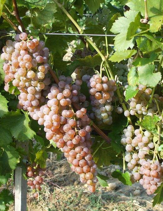Cserszegi fűszeres fehér borszőlő
