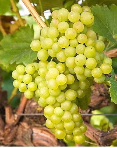 Csilla csemegeszőlő