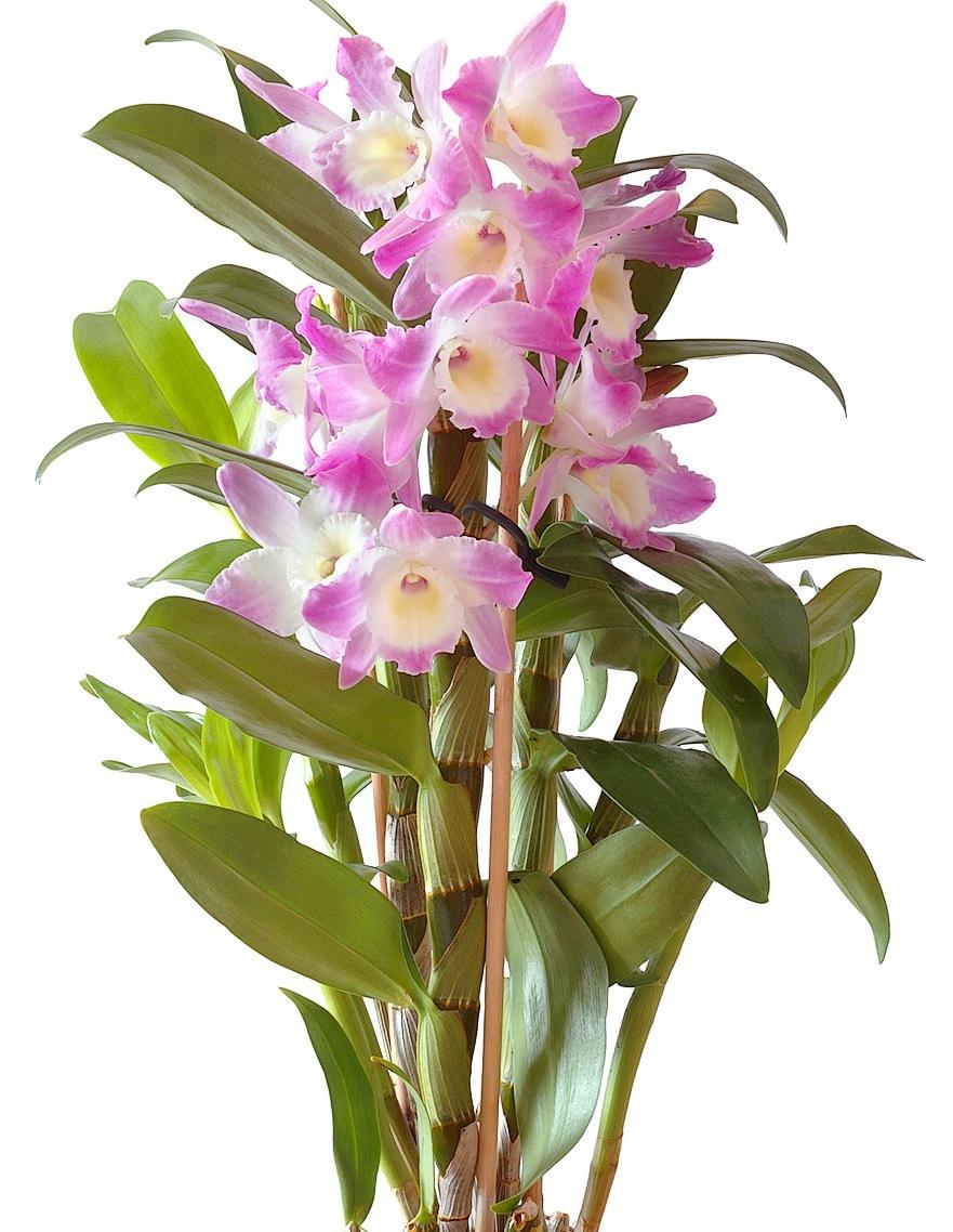 Orchidea változat