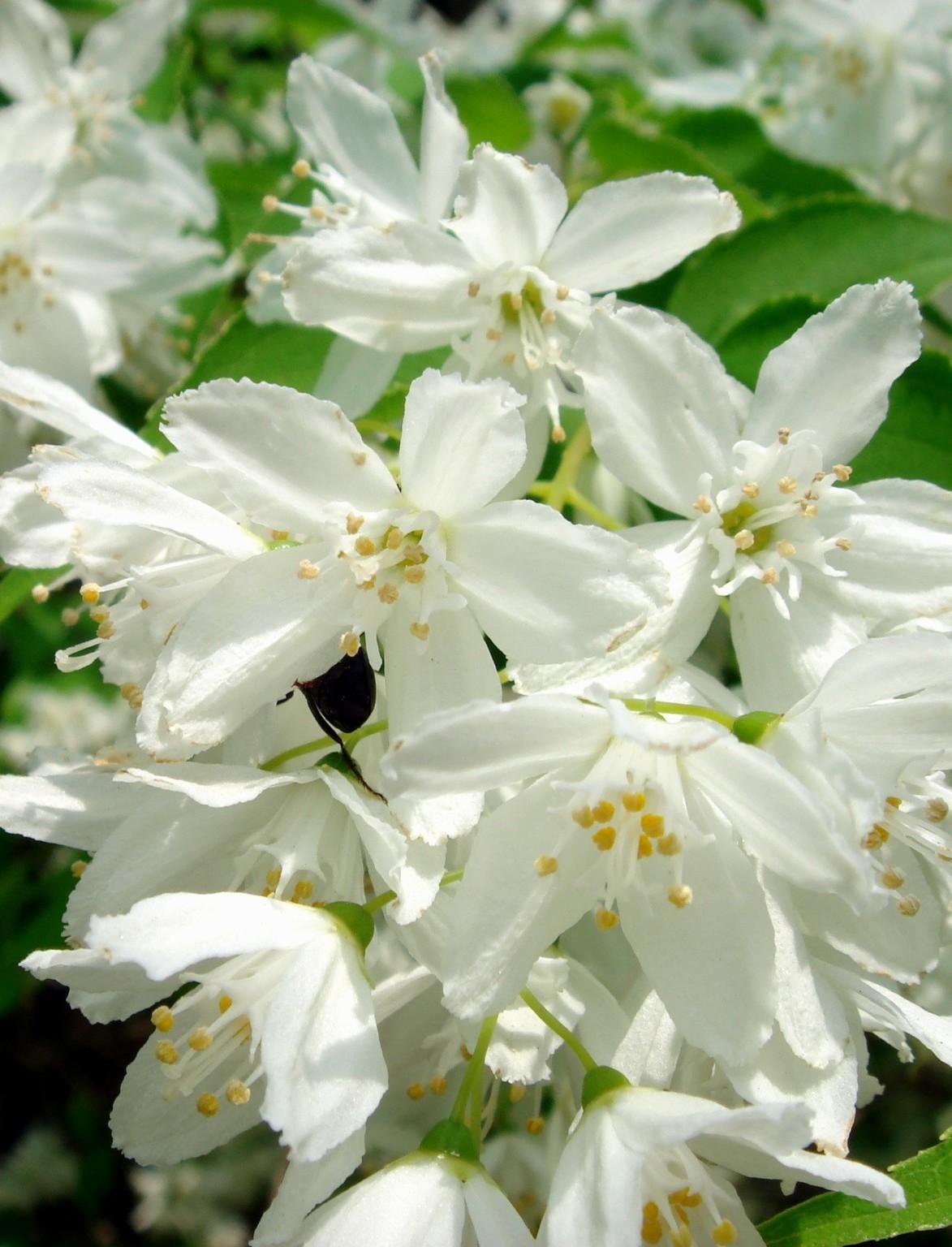 Karcsú gyöngyvirágcserje