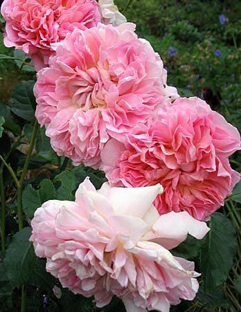 England floribunda