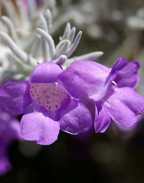 Selymes eremophila