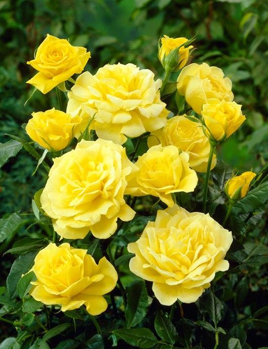 Goldbeet polyantha