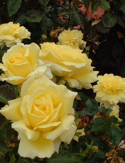 Golden Delight polyantha