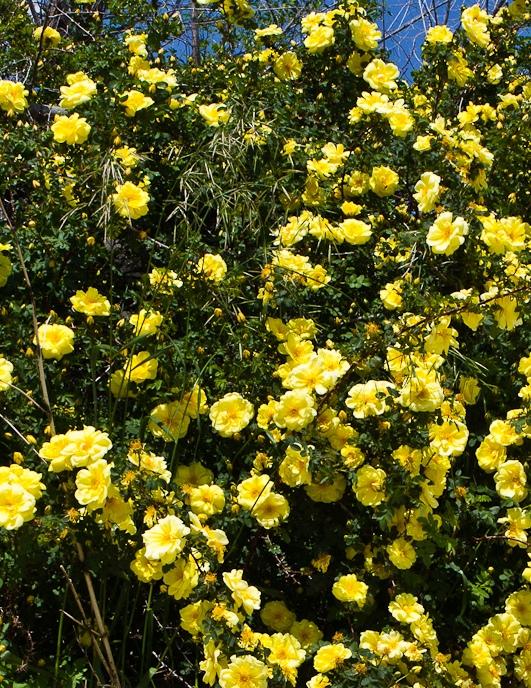 Goldstern talajtakaró rózsa