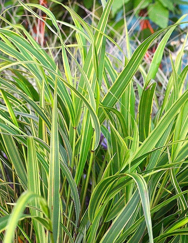 Fehér-tarka levelű szálkafű