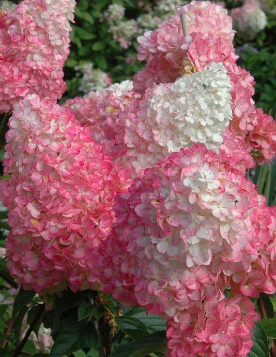 Bugás hortenzia 'Pink Lady' változat