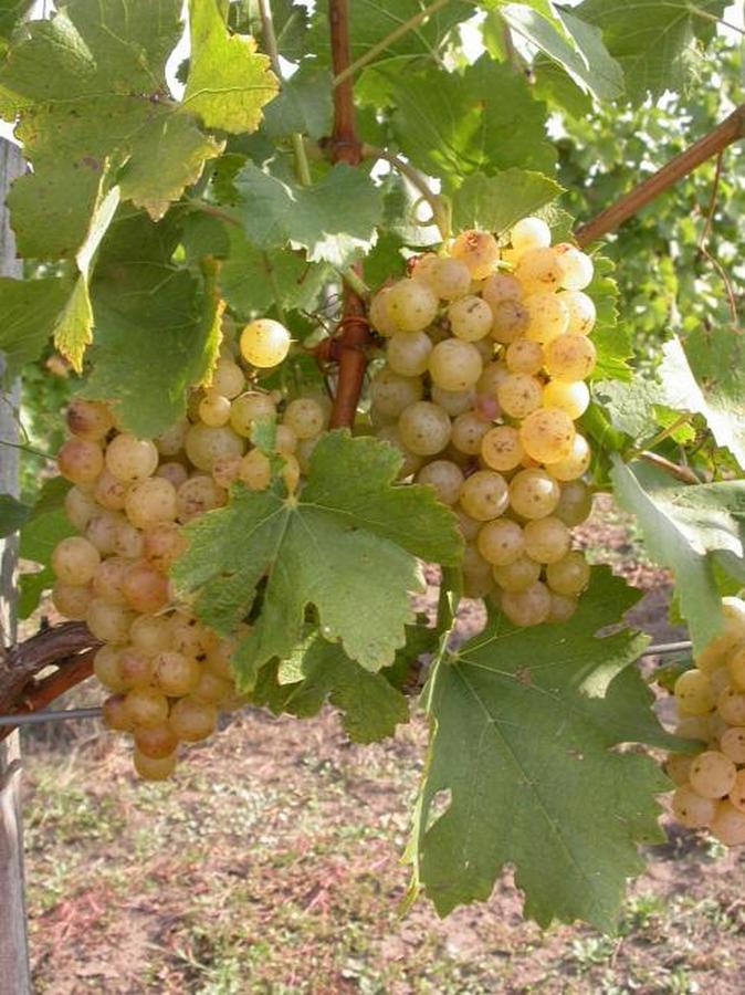 Irsai Olivér csemegeszőlő