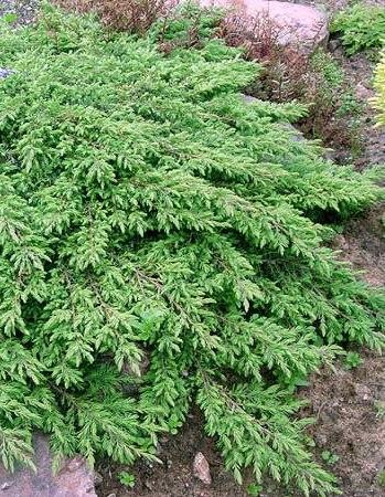 Zöld terülő boróka