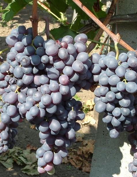 Kismis Moldavszkij csemegeszőlő