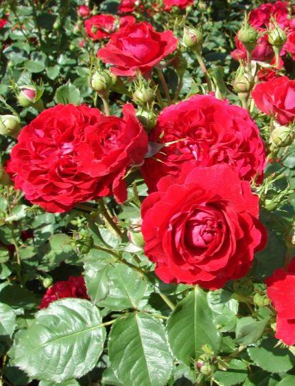 Kronborg poulsen rózsa