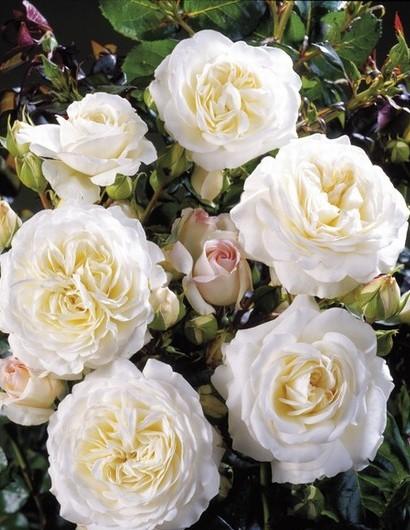 Ledreborg poulsen rózsa