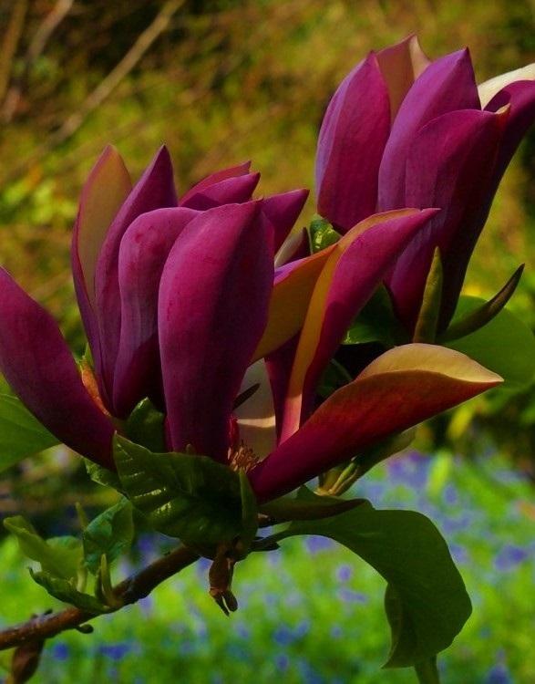 Liliomfa változat