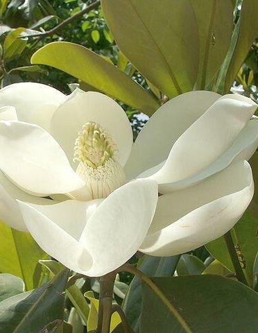 Örökzöld liliomfa