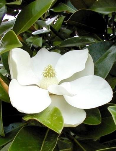 Örökzöld liliomfa 'Nantais' változat