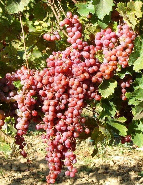 Mathiász Jánosné muskotály csemegeszőlő