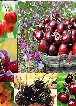 Kombi gyümölcsfa: Münchebergi korai, Sárga cseresznye, Solymári gömbölyű