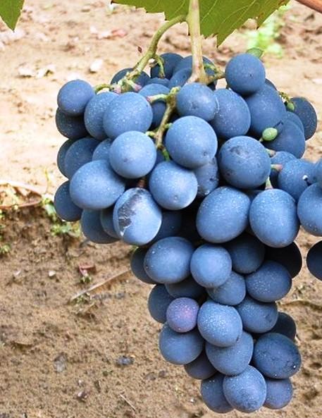 Moldova csemegeszőlő