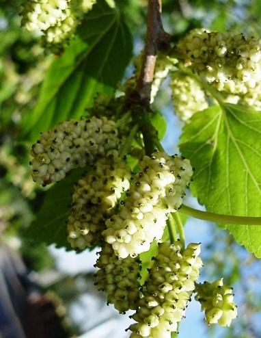 Fehér nagy gyümölcsű eperfa