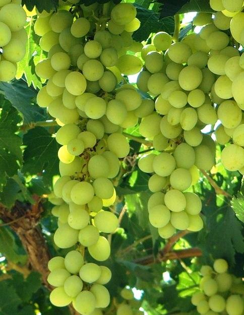 Nektár fehér borszőlő