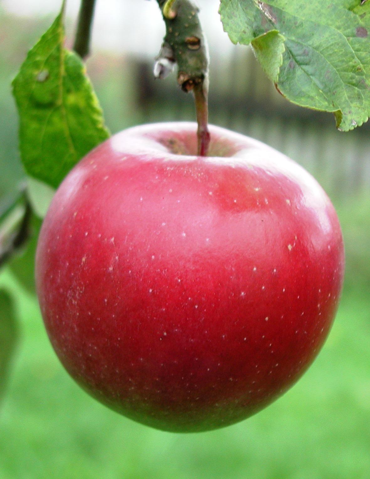Nyári zamatos alma
