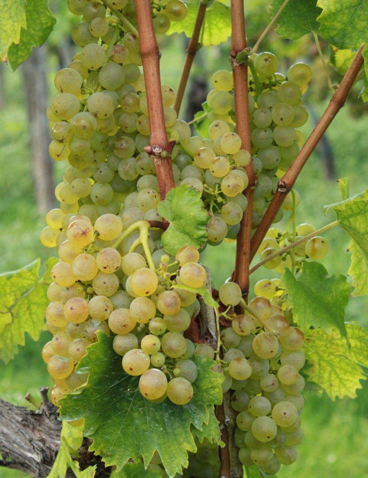 Olaszrizling fehér borszőlő