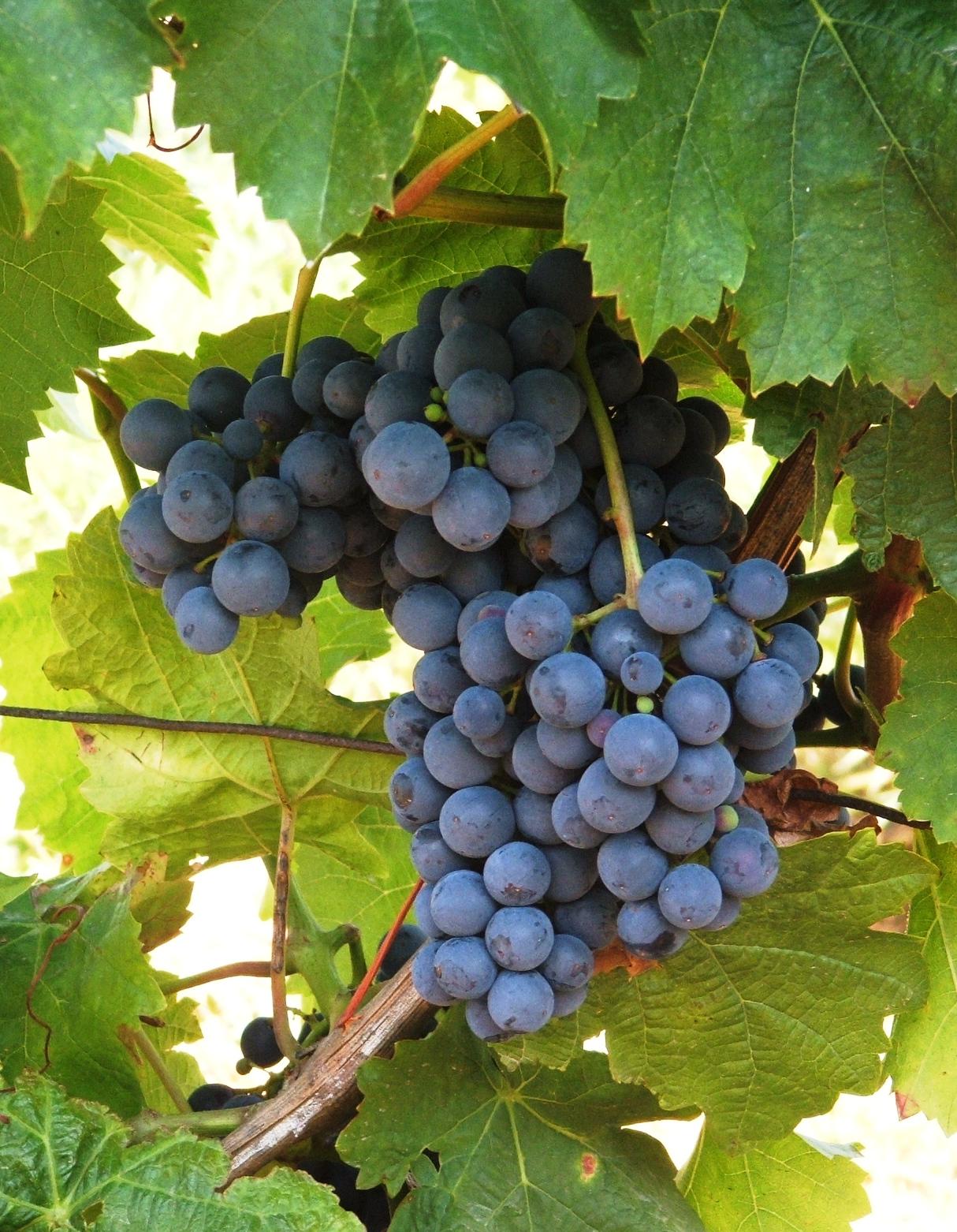 Oporto vörös borszőlő
