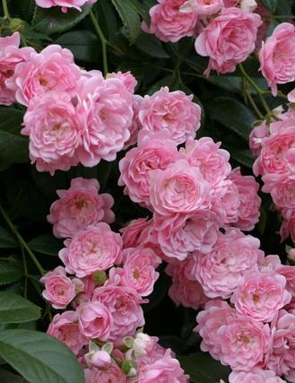 Pink Fantasy talajtakaró rózsa