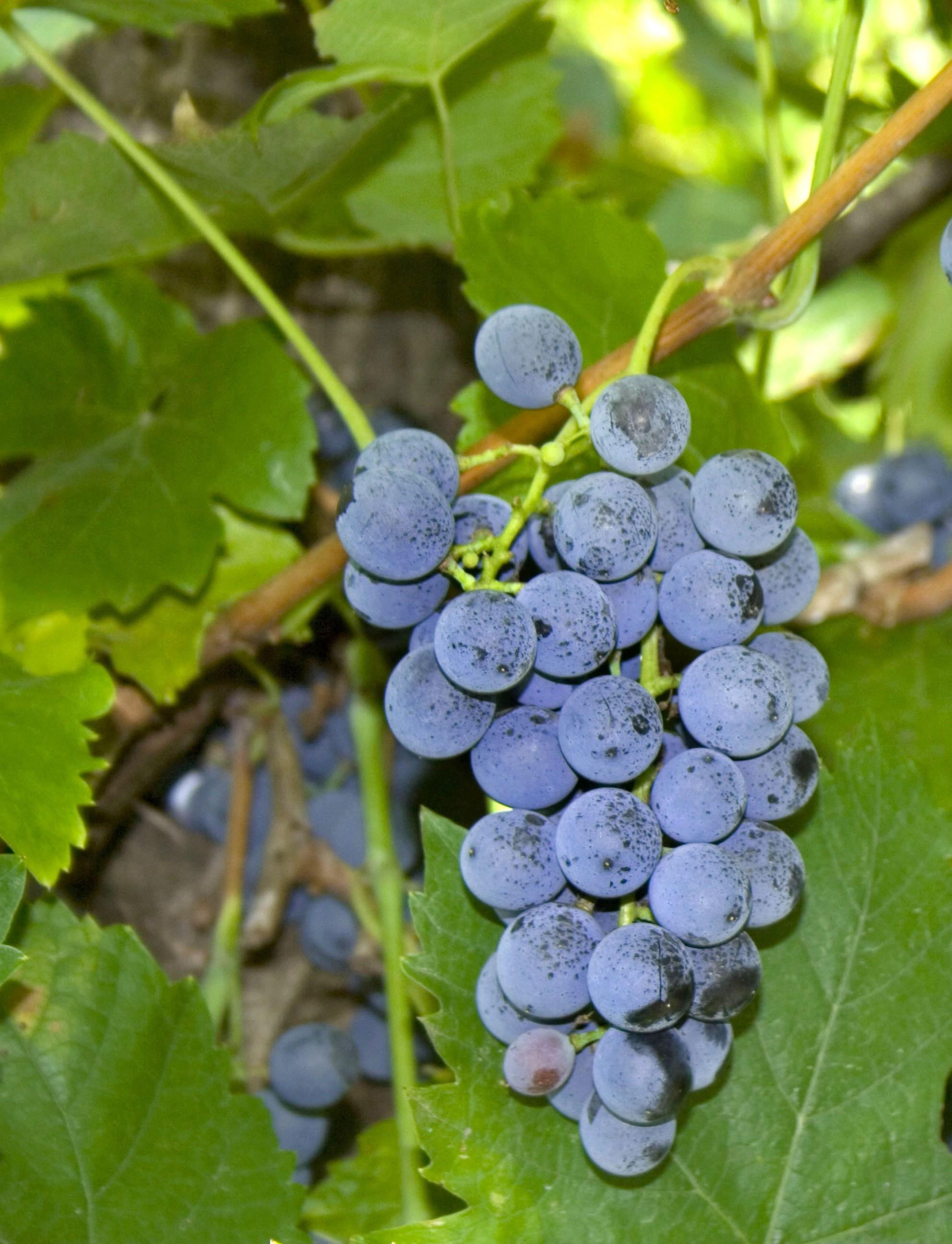 Pinot noir vörös borszőlő