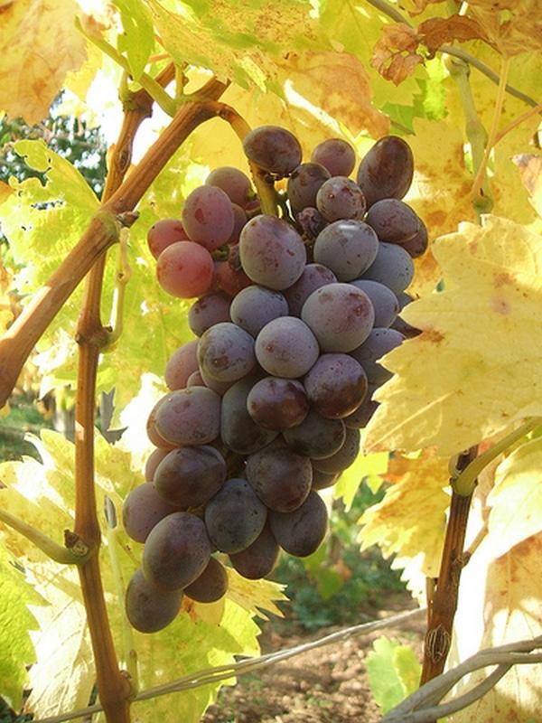 Piros kecskecsöcsű csemegeszőlő