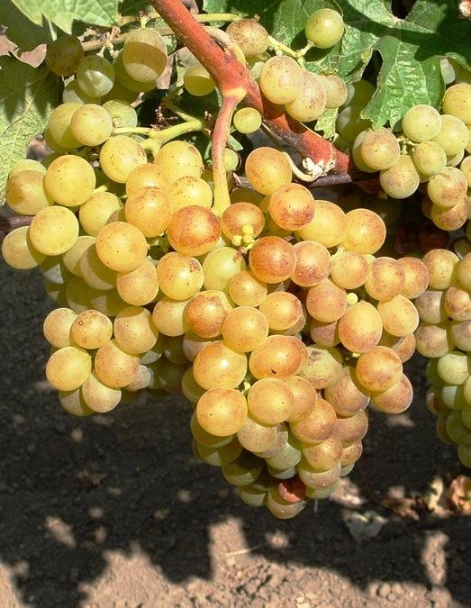 Pölöskei muskotály csemegeszőlő /rezisztens/