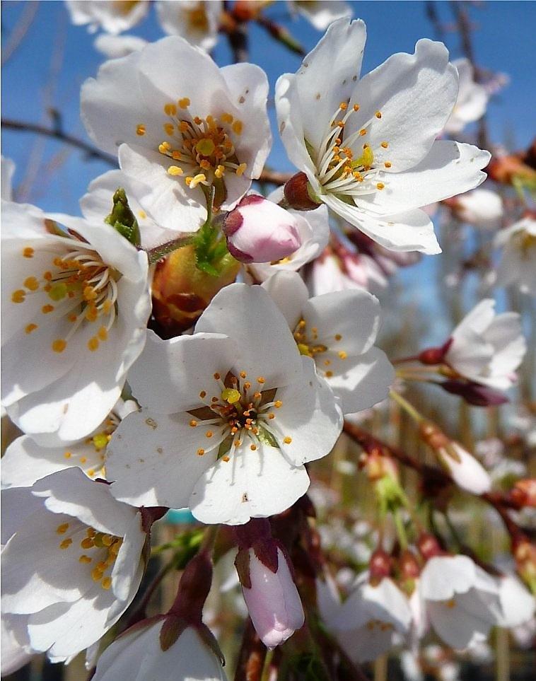 Csüngő fehér virágú díszcseresznye