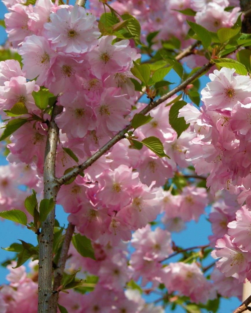 Rózsaszín virágú díszcseresznye