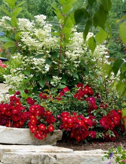 Red Carpet talajtakaró rózsa