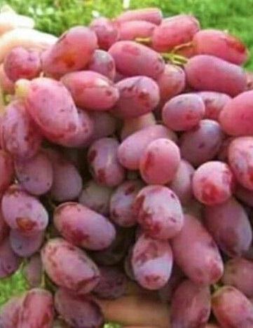 Rizamat csemegeszőlő rezisztens