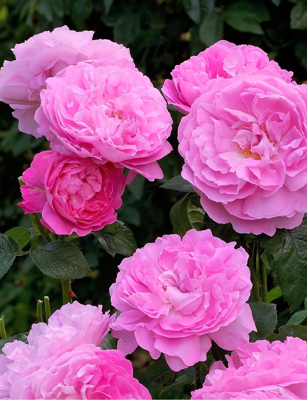 San Remo talajtakaró rózsa